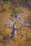 Baobabu drzewo w Kruger parku narodowym, Południowa Afryka Fotografia Royalty Free