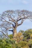 Baobabu drzewo w Kruger parku narodowym, Południowa Afryka Zdjęcie Royalty Free