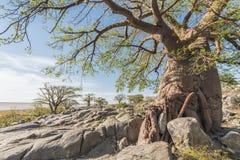 Baobabu drzewo w lecie Obrazy Stock