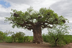 Baobabu drzewo z tkacza ptakiem gniazduje w Kruger parku narodowym, Południowa Afryka Obrazy Royalty Free