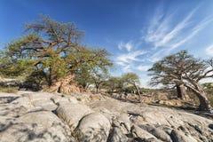 Baobabu krajobraz Zdjęcie Royalty Free