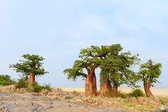 baobabu las Madagascar Zdjęcie Royalty Free