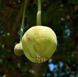 Baobabu okwitnięcie zamykający Zdjęcie Stock