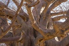 Baobabu zamknięty up wzór, fisheye widok Botswana, jeden atrakcyjny podróży miejsce przeznaczenia w Afryka Obrazy Stock