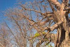 Baobabu zamknięty up wzór, fisheye widok Botswana, jeden atrakcyjny podróży miejsce przeznaczenia w Afryka Zdjęcie Stock