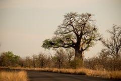 Baobabu zmierzch Zdjęcie Royalty Free