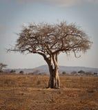 Baobob tree. A young baobob tree at Mikumi National Park, Tanzania Royalty Free Stock Photos