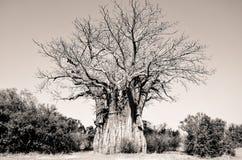 Baobob Tree. In Kruger National Park Royalty Free Stock Image