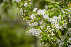 bApple δέντρο στα λουλούδια Στοκ Φωτογραφία