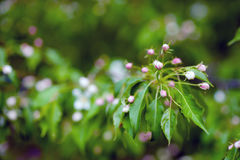 bApple boom in bloemen Royalty-vrije Stock Foto