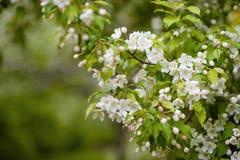 bApple boom in bloemen Stock Fotografie