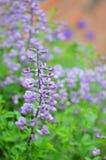 Baptisia (ψεύτικο λουλάκι) στοκ φωτογραφίες με δικαίωμα ελεύθερης χρήσης