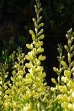Baptisia amarillo del añil falso (Fabaceae) Foto de archivo