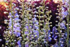 Baptisia australis, allgemein bekannt als blaues wildes Indigo oder blaues falsches Indigo bei purpurrotem Sonnenuntergang im Gar stockbild