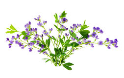Baptisia bundle Stock Photography