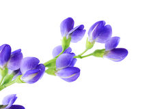 Baptisia cluster Royalty Free Stock Photography