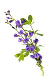 Baptisia flowers Stock Photos