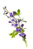 Baptisia kwiaty zdjęcia stock