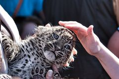Young leopard with hand Royalty Free Stock Image
