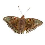 Barón llamativo Male Butterfly aislada Fotos de archivo
