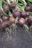 Barón rojo Onions fotografía de archivo libre de regalías