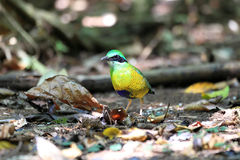 Bar-bellied Pitta Royalty Free Stock Photography