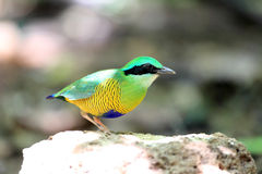 Bar-bellied Pitta Royalty Free Stock Photos