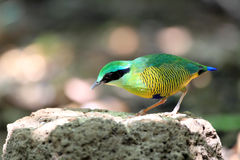 Bar-bellied Pitta Stock Photo