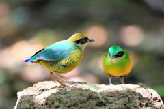 Bar-bellied Pitta Stock Image