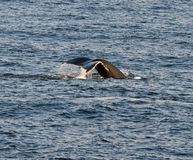 Bar Harbor Whale Royalty Free Stock Image