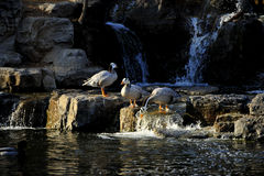 Bar-headed geese Royalty Free Stock Photo