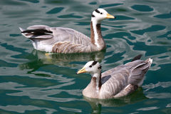 Bar-headed Geese Stock Photos