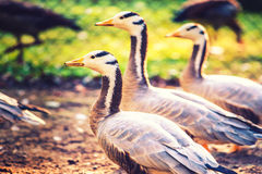 Bar-headed geese Stock Image