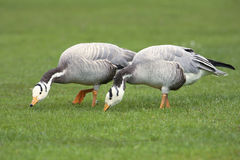 Bar-headed Geese Stock Photo