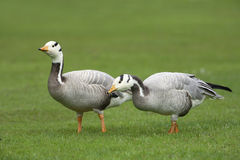 Bar-headed Geese Royalty Free Stock Photos