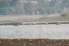 Bar-headed Geese and other Migratory Ducks at the Wetland. Bar-headed Geese Anser indicus and other Migratory Duck on the shore of Wetland stock photography