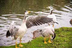Bar-headed geese Stock Images