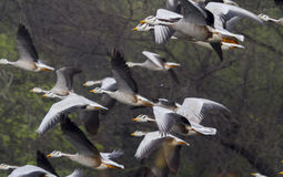 Bar Headed Geese Stock Images