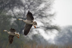 Bar Headed Geese Royalty Free Stock Photography