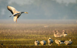 Bar headed Geese Landing Stock Image