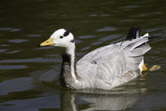 Bar-headed Geese swimming in pond Royalty Free Stock Images