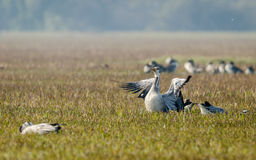 Bar headed Geese with wings stretched. Stock Photo