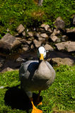 Bar Headed Goose Stock Photo
