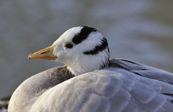 Bar-headed Goose. Anser indicus royalty free stock photography