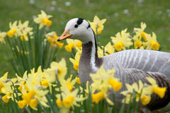 The Bar-headed Goose Royalty Free Stock Photos