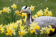 The Bar-headed Goose Royalty Free Stock Photos