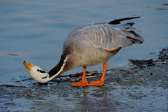 Bar-headed Goose. Play in the lake Royalty Free Stock Photography