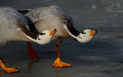 Bar-headed Goose Stock Photo