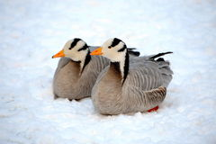 Bar-headed Goose. In the snow Royalty Free Stock Photos