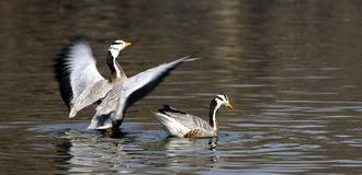 Bar-headed Goose Royalty Free Stock Photos
